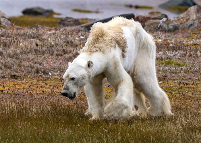 Oso polar pasando hambre
