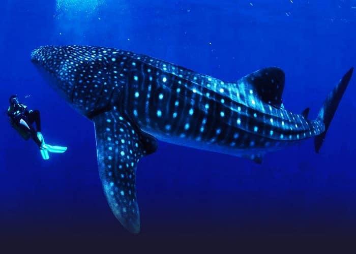 Tiburón ballena submarinista