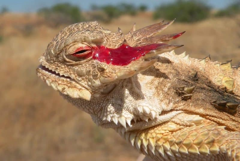 Lagarto cornudo con sangre