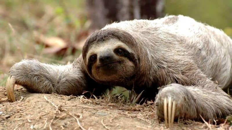 Perezoso animal lento