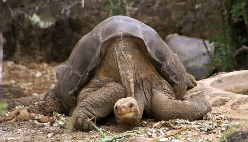 Animales más longevos - Tortuga de las galápagos