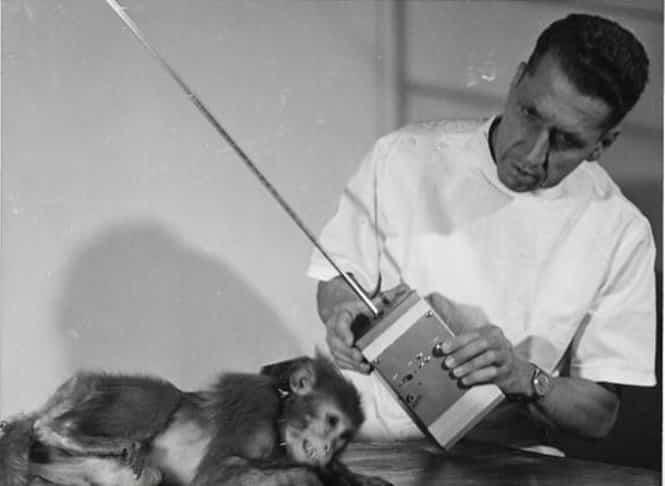 José Delgado experimento con monos - Científico español loco
