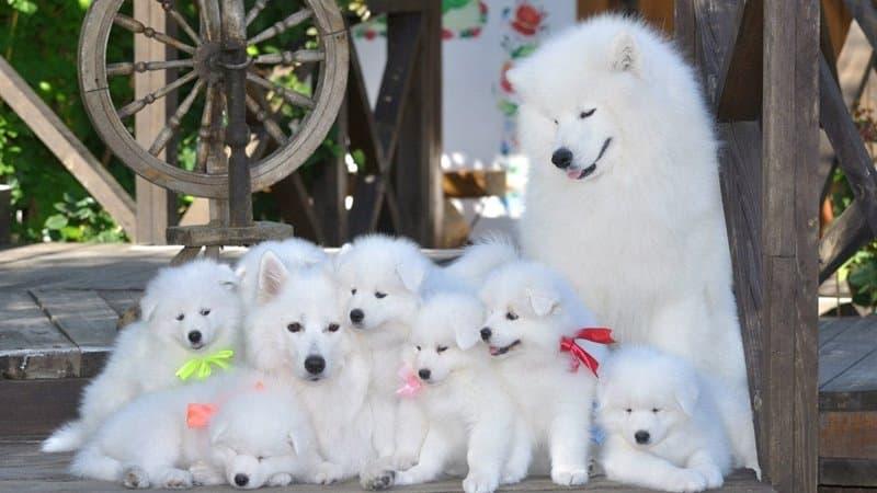 Razas de perros más caras - Samoyedo