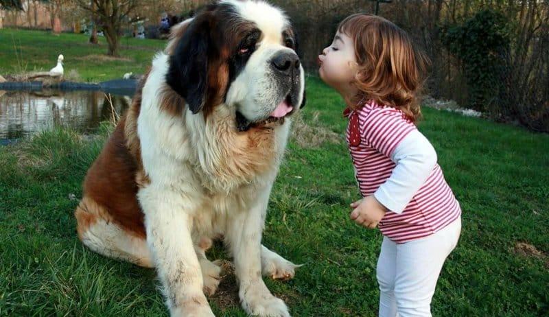 San Bernardo raza de perro más grande del mundo